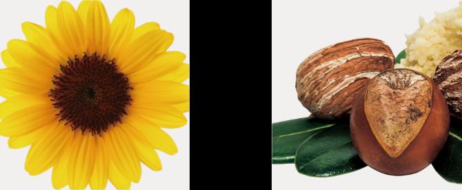 ヒマワリ種子油 サピンヅストリホリアツス 果実エキス(ソープナッツエキス)